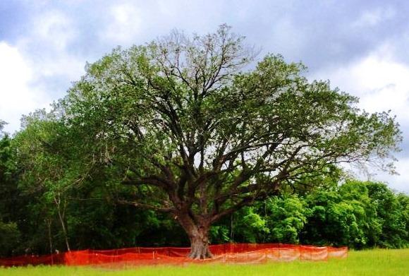 Compton Oak