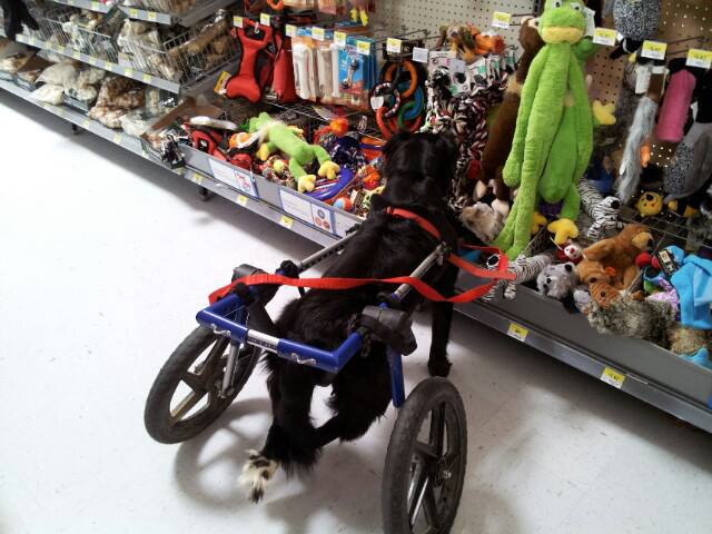 Paralyzed therapy dog Scooter visits his local Walmart