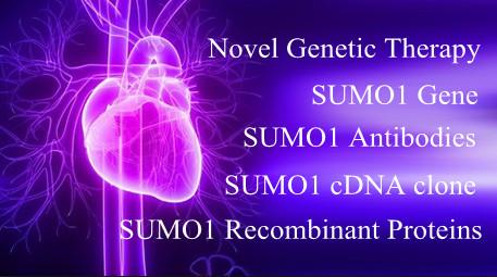 Novel Cardiac Gene Therapy and SUMO1 Gene