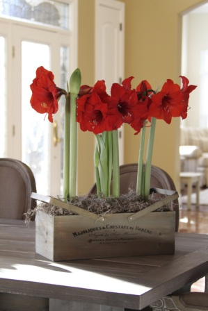A potted amaryllis will make a splash at holiday gatherings and parties.