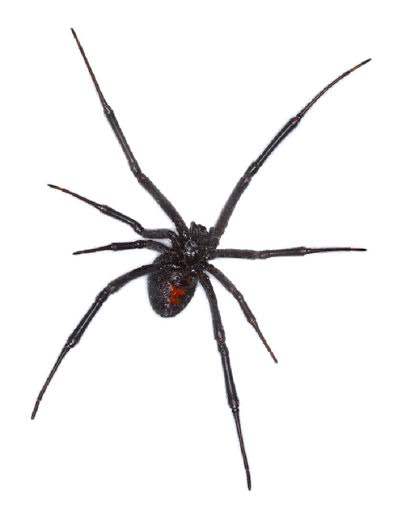 The fear of spiders is one of the most common fears people have.