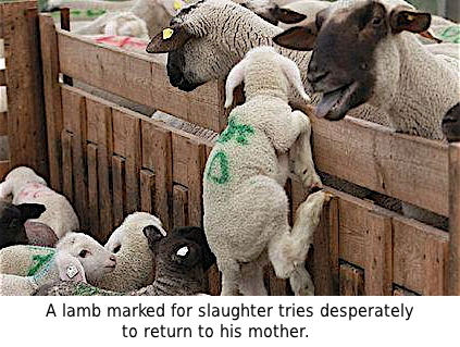 A lamb marked for slaughter tries desperately to return to his mother.