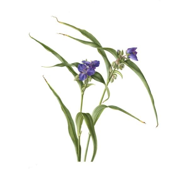 Tradescandia virginiana, Spiderwort, Watercolor on Paper © Lizzie Sanders