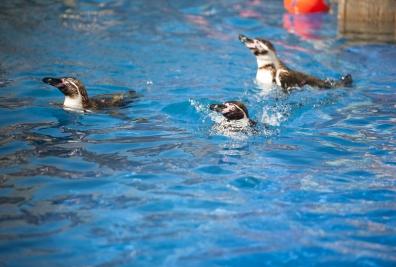 penguins 396x267