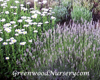Growing lavender plants in the home garden