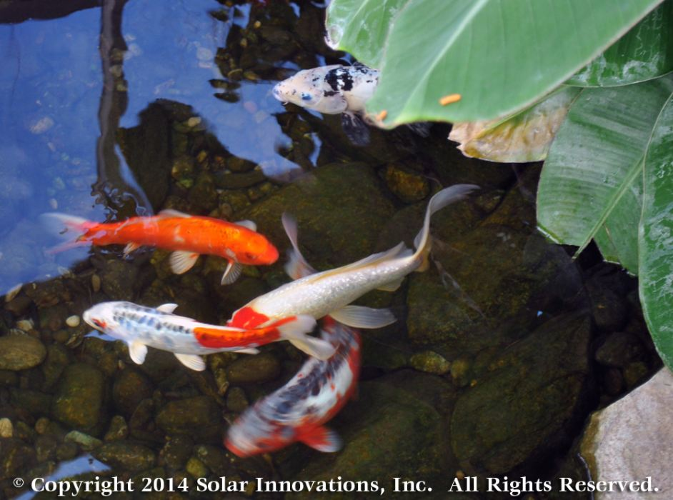 Koi at Solar Innovations, Inc.'s Corporate Facility