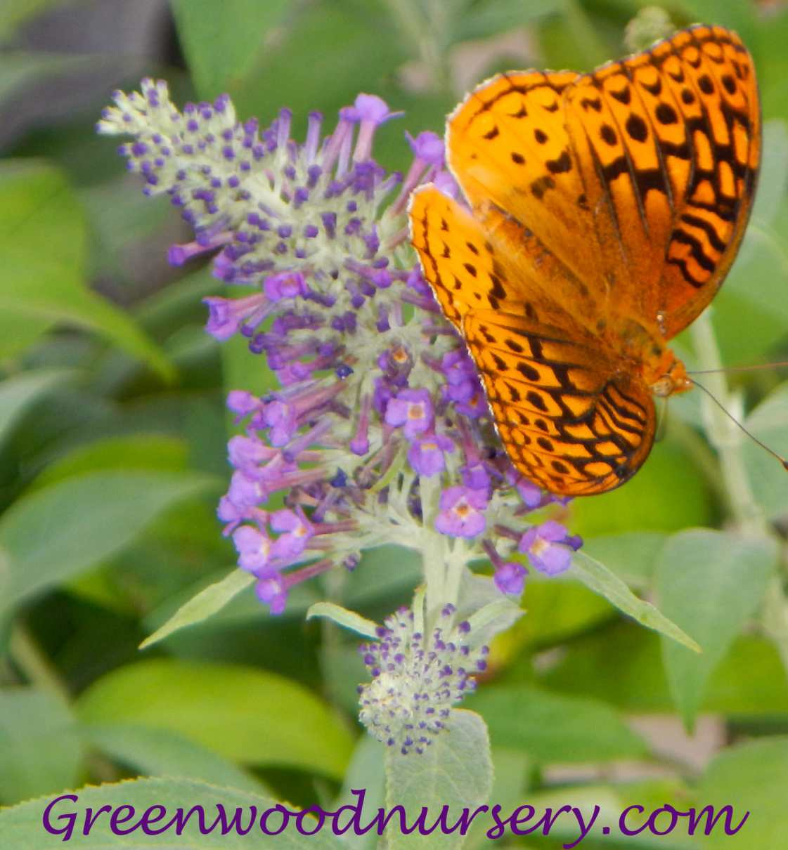 Buy Butterfly Bushes and other gardening plants online at GreenwoodNursery.com