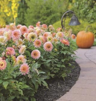 Win a dahlia border garden from Longfield Gardens