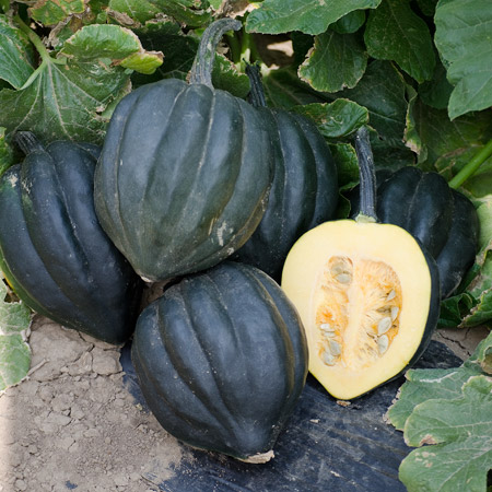 Winter_Squash_Black_Bellota_DPSeeds