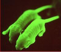 Cyagen transgenic mice