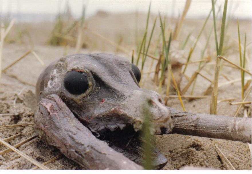 'skullcrab' Prop as it appeared during 1983 filming of Saga of a Crew