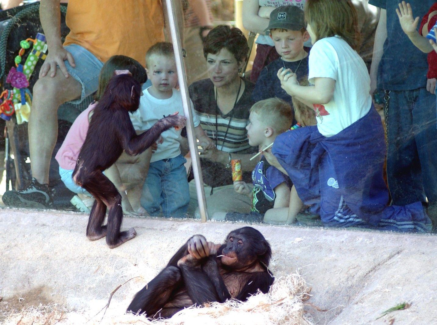 A family enjoys observing the baby bonobos