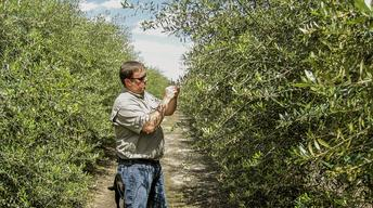 Jason Shaw inspects Georgia Olive Farms trees.