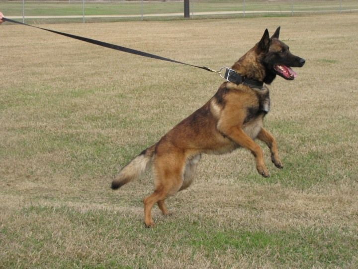 Trained Malinois Dogs For Sale