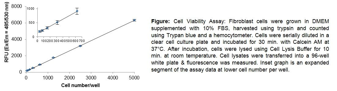 Quantitation of viable fibroblast cells using Calcein AM Cell Viability Kit