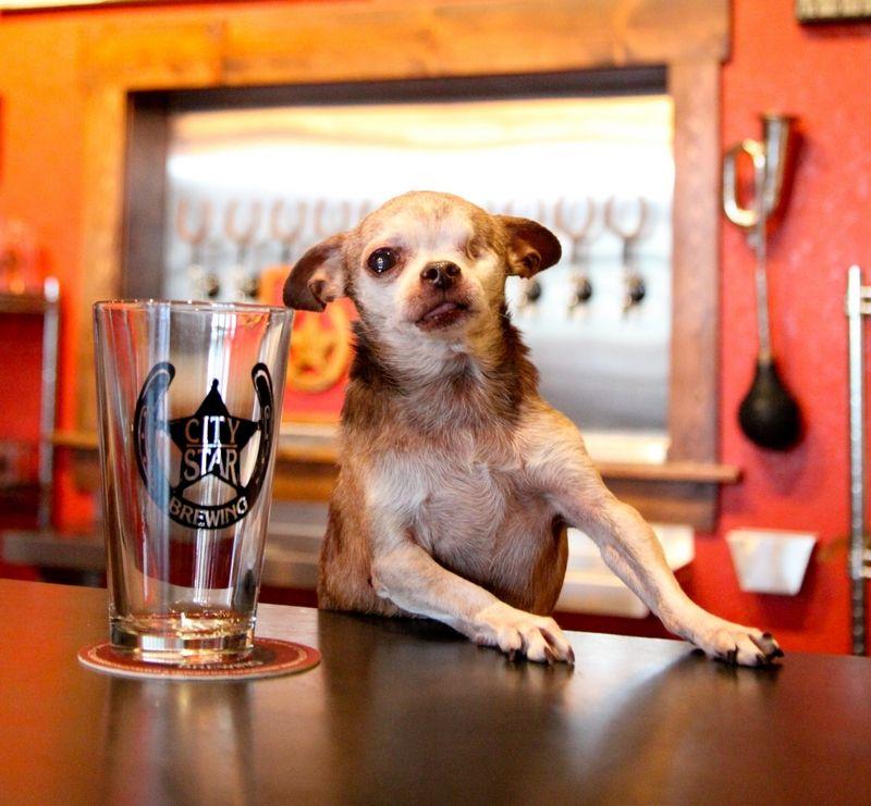 Puppy Mill Survivor, Harley, at City Star Brewing, Berthoud, Colorado