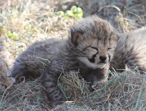 Cheetah Cub At HESC