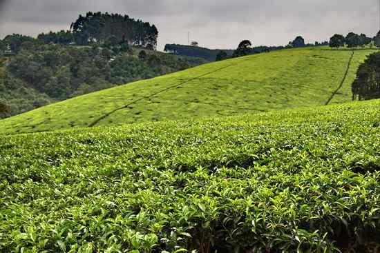 teafarm