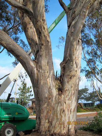 A Mature Eucalyptus Tre