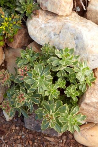 Sedum Kamtchaticum variegatum