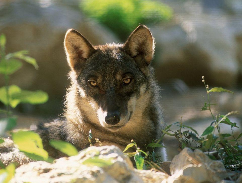 Canis lupus italicus copyright Duccio Berzi