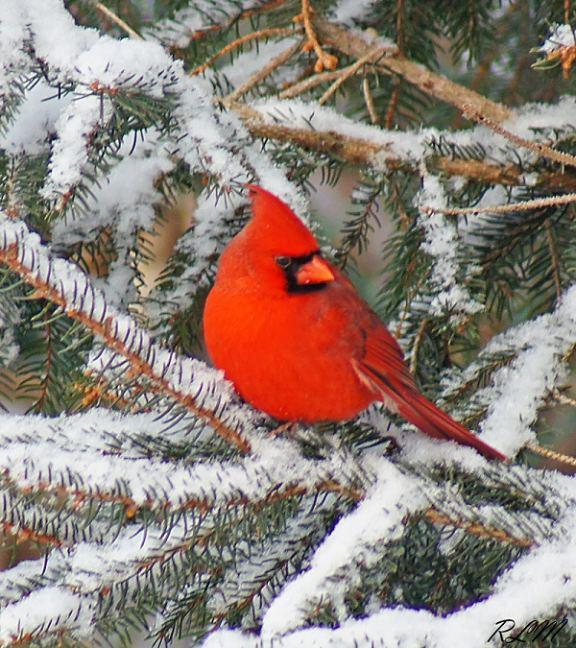 Cardinal in Freehold, NJ (Credit: Robin Muller)