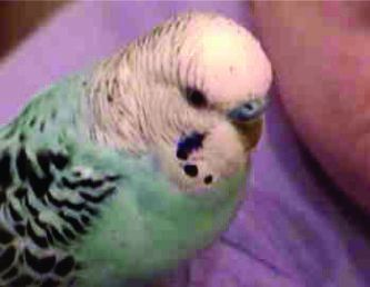 Victor the Budgie
