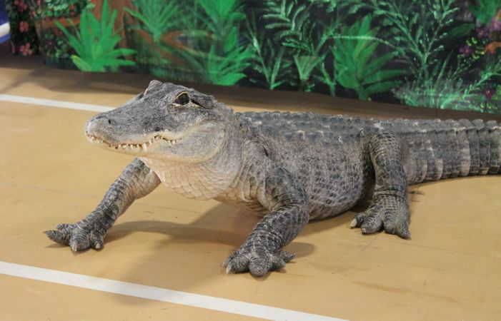 Meet Freddie the Alligator at the Pet Expo! Isn't he cute?