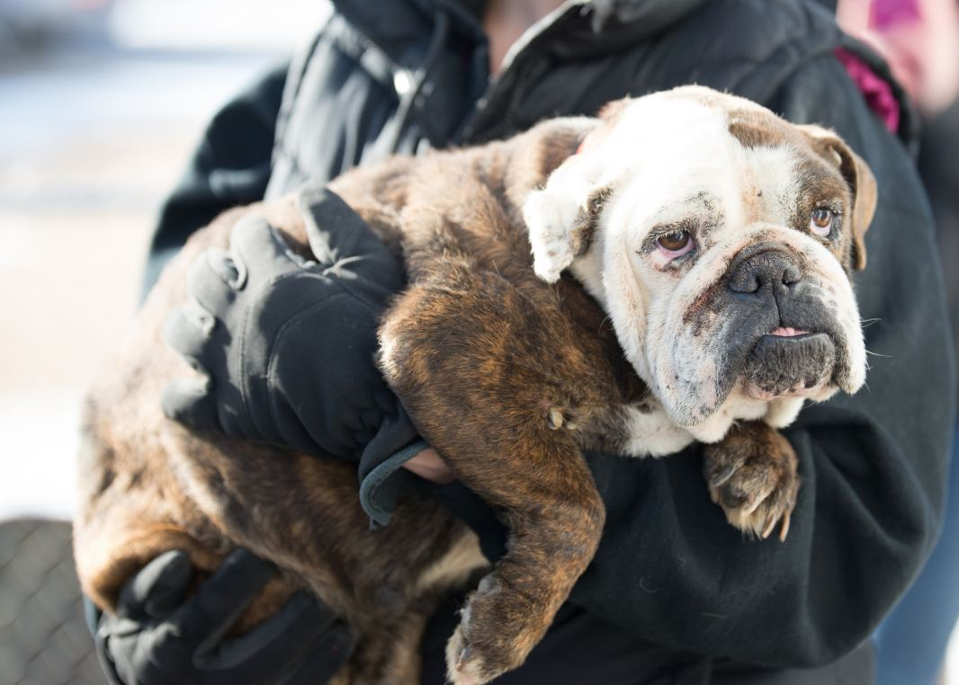 Puppy Mill Survivor now safe at National Mill Dog Rescue's facility in Colorado