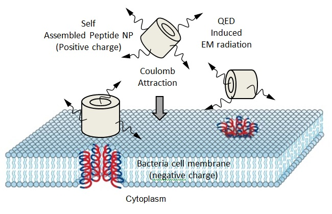 NPs of AMPs disinfecting bacteria by disruption of cell membrane and cytoplasm