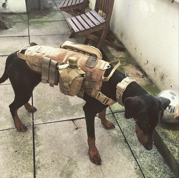Navy Seal Dogs in addition Ultrafun Tactical Dog Harness With Patches Pouches Handle Molle Vest For Dogs in addition 401217279249 in addition 322286203843 also Read Dogs Body Language. on tactical k9 harness for dogs