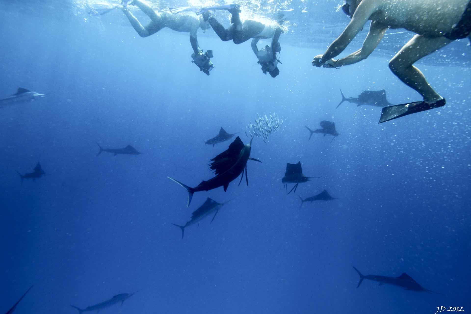 Swimming with Sailfish