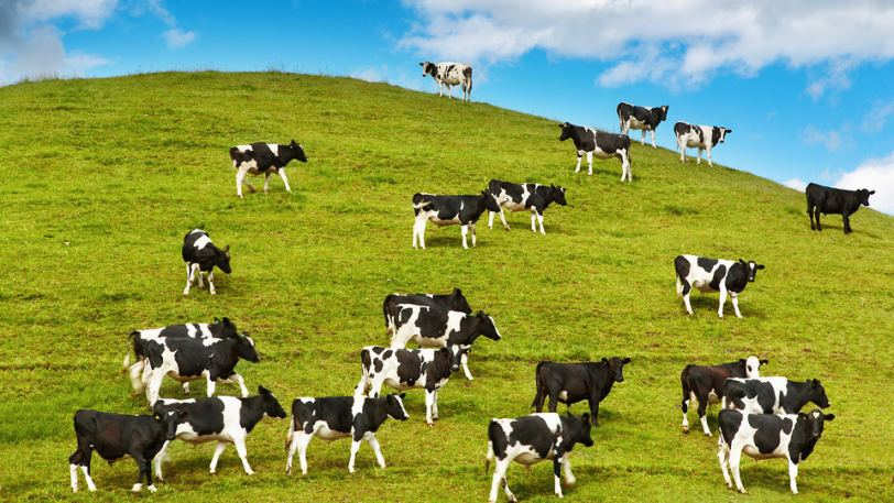 Comfortable and Happy Cows