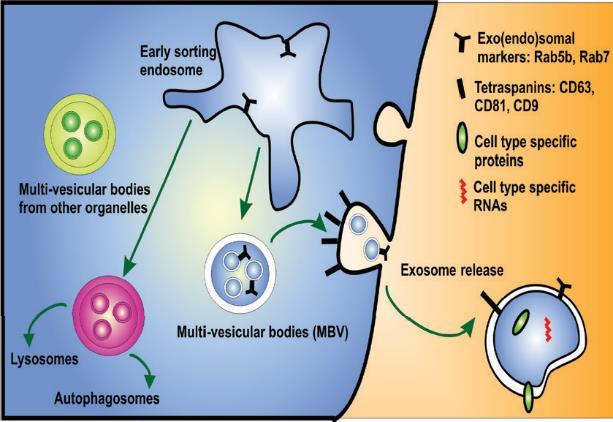 Figure showing biogenesis and secretion of exosomes