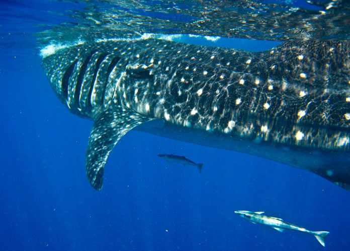 Swim with Whale Sharks with Ceviche Tours