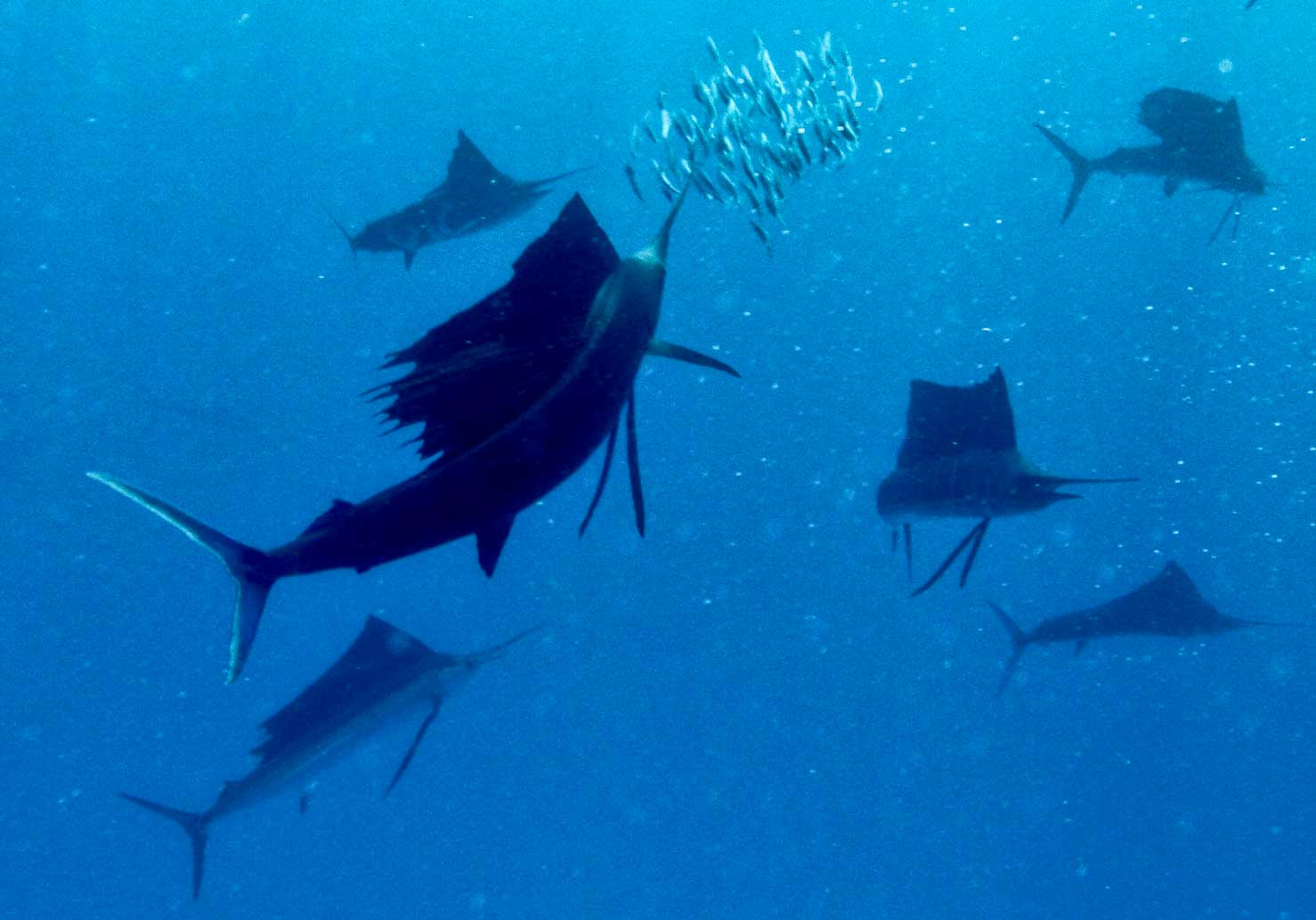 Swim with Sailfish with Ceviche Tours