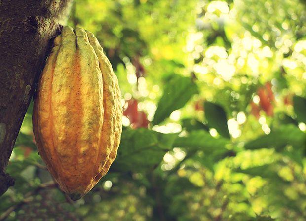 Nacional Cacao Fruit 1
