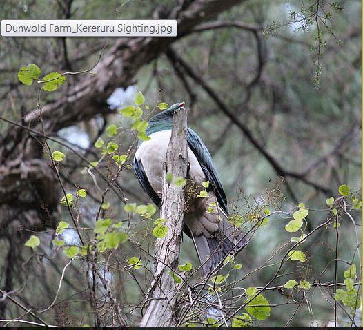 Dunwold Farm_Kereru Sighting