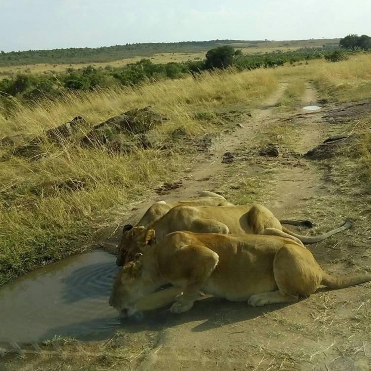 lions seen in Masai Mara