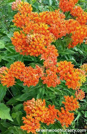 Orange Erfly Weed Blooms