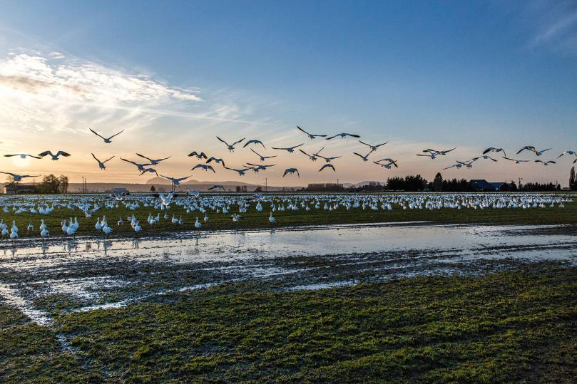 Snow Geese in Mount Vernon