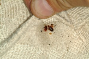 Bed Bug Eradication – Preston Pest Control