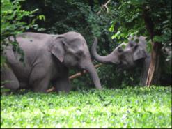 Asian Elephants in Assam India. Photo: Anshuma Basumatary