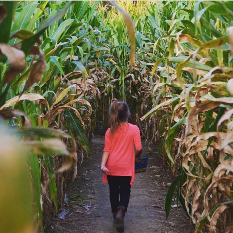 Walk through the Corn Maze