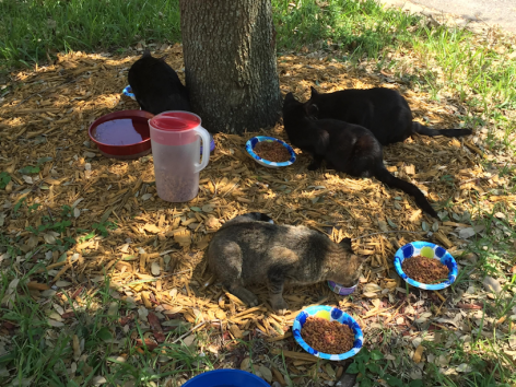 Some mighty hungry and thirsty cats after hurricane Irma destroys their home.