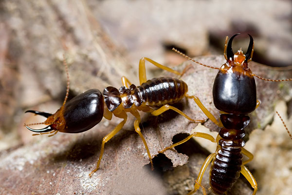 How to Exterminate Termites from Texas Smartly