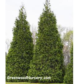 Thuja Green Giant Arborvitae Tree