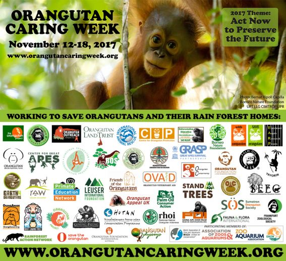Orangutan Caring Week - If ever there was a time to care, that time is now!