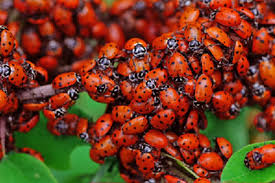 Preston Pest Control is the one-stop solution to eliminate ladybug infestations