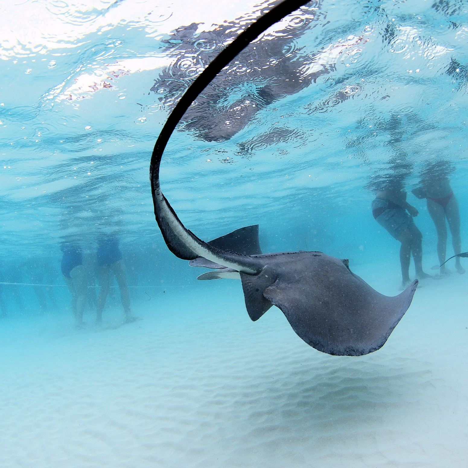 Stingray City in the Cayman Islands